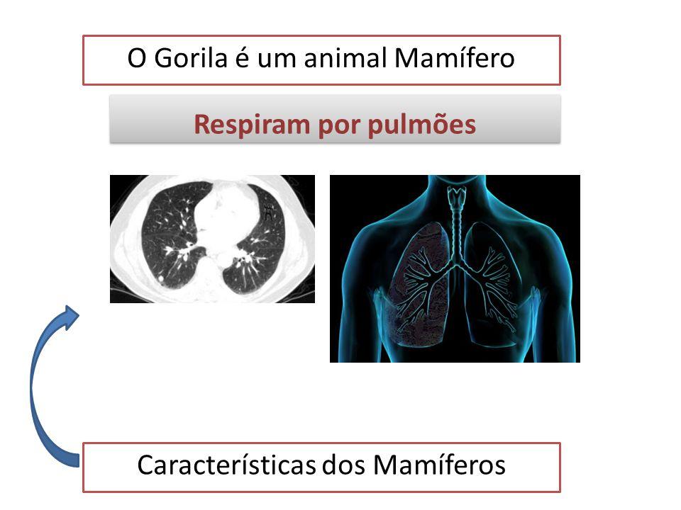 O Gorila é um animal Mamífero Características dos Mamíferos Tem um cérebro desenvolvido Tem um cérebro desenvolvido