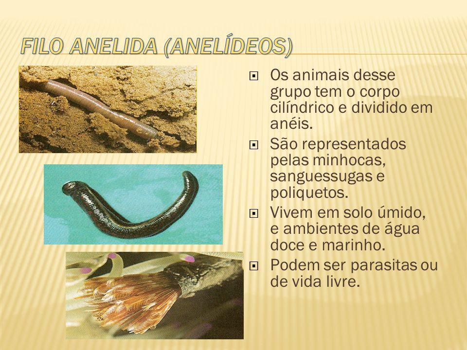  Os animais desse grupo tem o corpo cilíndrico e dividido em anéis.  São representados pelas minhocas, sanguessugas e poliquetos.  Vivem em solo úm