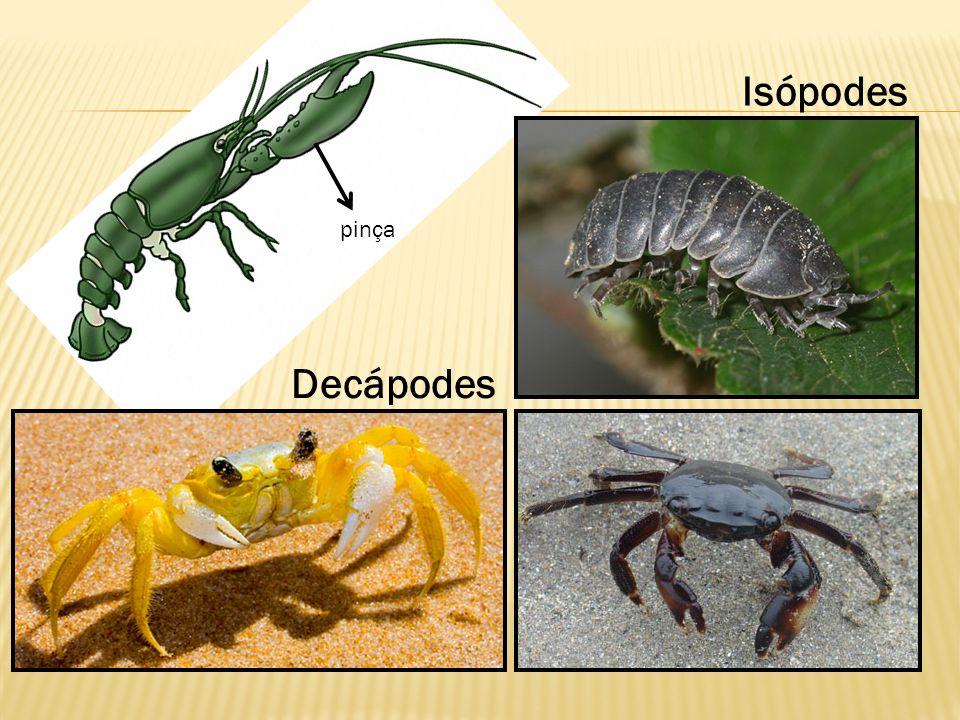 pinça Isópodes Decápodes