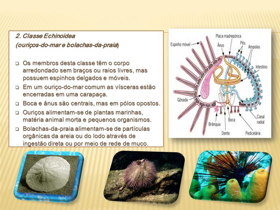 2. Classe Echinoidea (ouriços-do-mar e bolachas-da-praia)  Os membros desta classe têm o corpo arredondado sem braços ou raios livres, mas possuem es