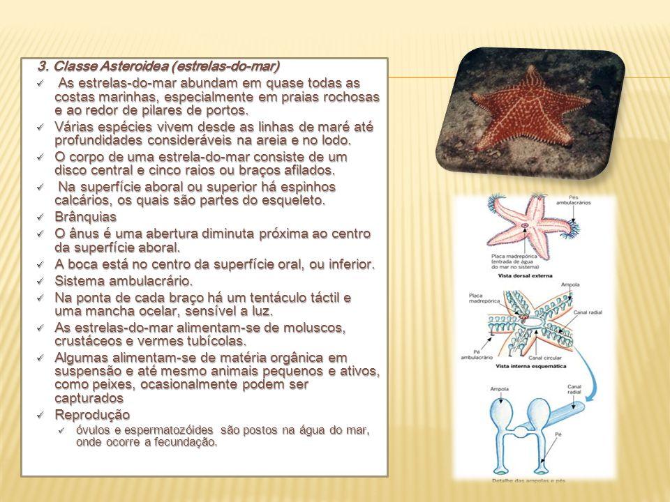 3. Classe Asteroidea (estrelas-do-mar) As estrelas-do-mar abundam em quase todas as costas marinhas, especialmente em praias rochosas e ao redor de pi