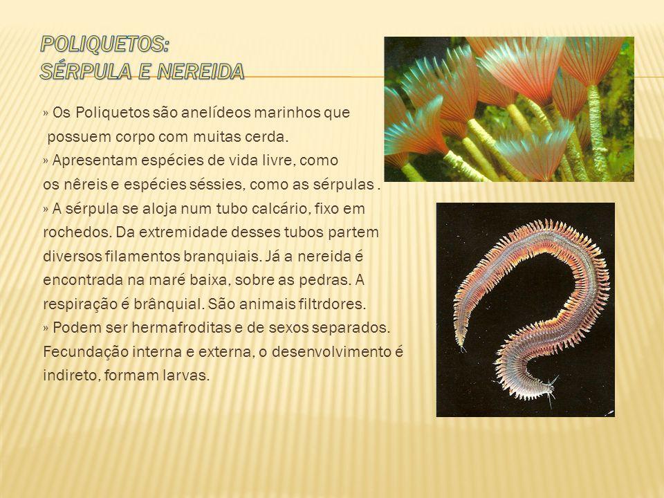 » Os Poliquetos são anelídeos marinhos que possuem corpo com muitas cerda. » Apresentam espécies de vida livre, como os nêreis e espécies séssies, com