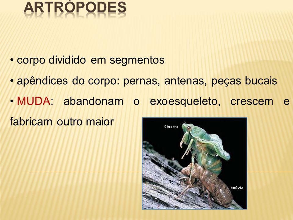 corpo dividido em segmentos apêndices do corpo: pernas, antenas, peças bucais MUDA: abandonam o exoesqueleto, crescem e fabricam outro maior
