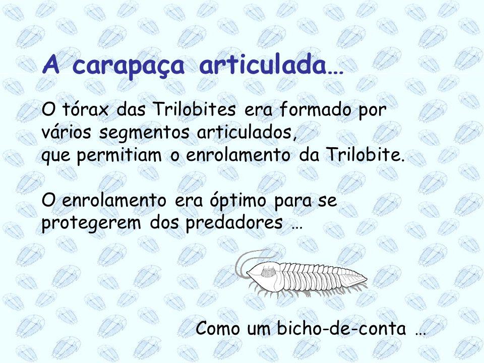 O tórax das Trilobites era formado por vários segmentos articulados, que permitiam o enrolamento da Trilobite. O enrolamento era óptimo para se proteg