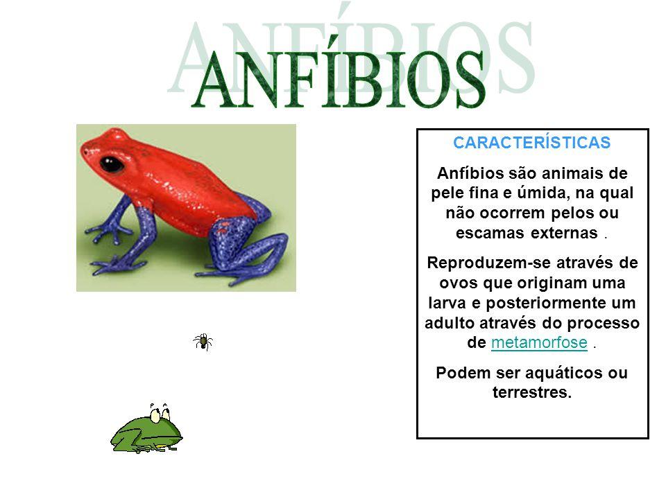 CARACTERÍSTICAS Anfíbios são animais de pele fina e úmida, na qual não ocorrem pelos ou escamas externas. Reproduzem-se através de ovos que originam u