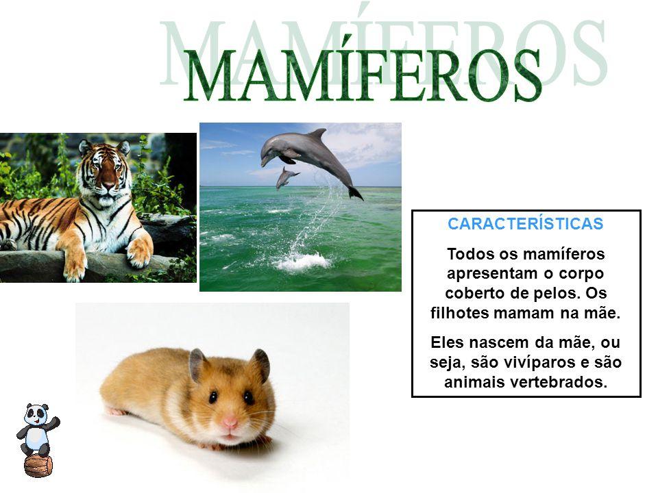 CARACTERÍSTICAS Todos os mamíferos apresentam o corpo coberto de pelos. Os filhotes mamam na mãe. Eles nascem da mãe, ou seja, são vivíparos e são ani