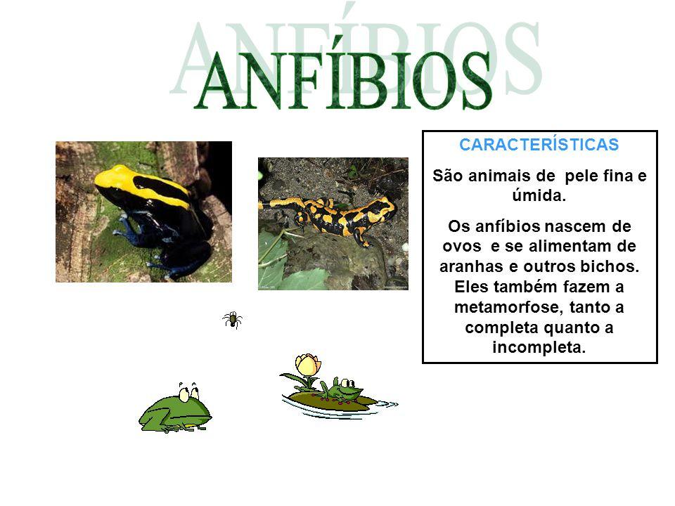 CARACTERÍSTICAS São animais de pele fina e úmida. Os anfíbios nascem de ovos e se alimentam de aranhas e outros bichos. Eles também fazem a metamorfos