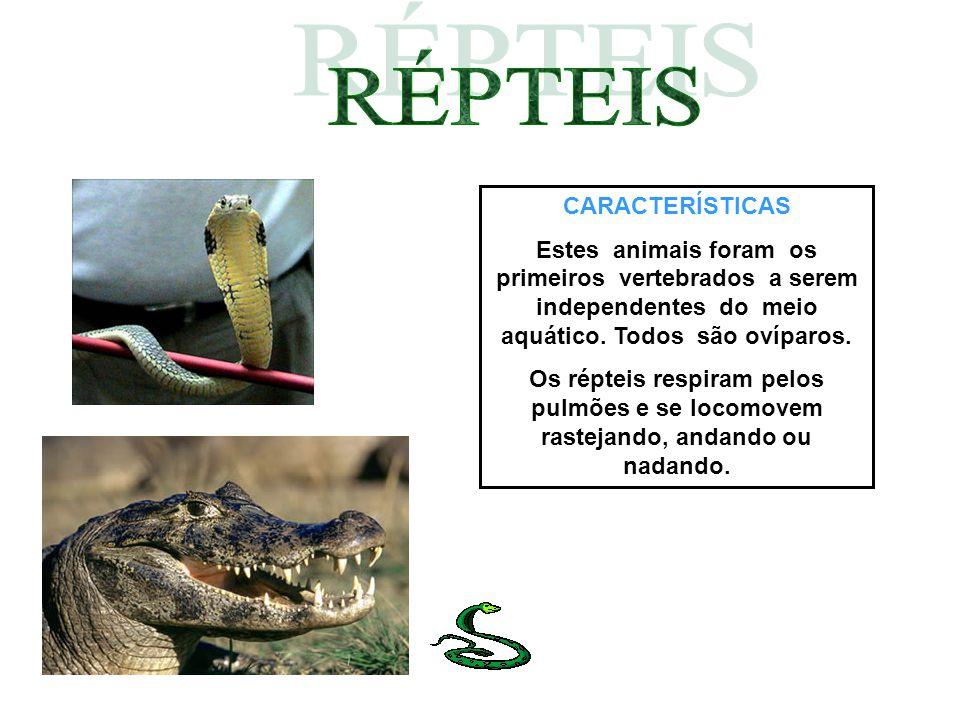 CARACTERÍSTICAS Estes animais foram os primeiros vertebrados a serem independentes do meio aquático. Todos são ovíparos. Os répteis respiram pelos pul