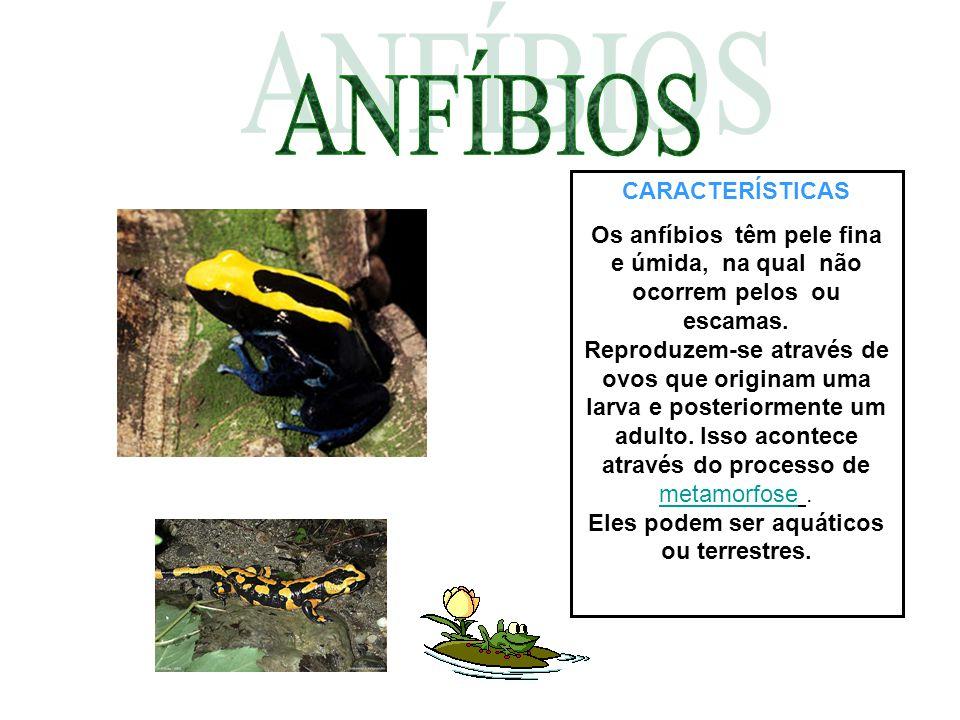 CARACTERÍSTICAS Os anfíbios têm pele fina e úmida, na qual não ocorrem pelos ou escamas. Reproduzem-se através de ovos que originam uma larva e poster