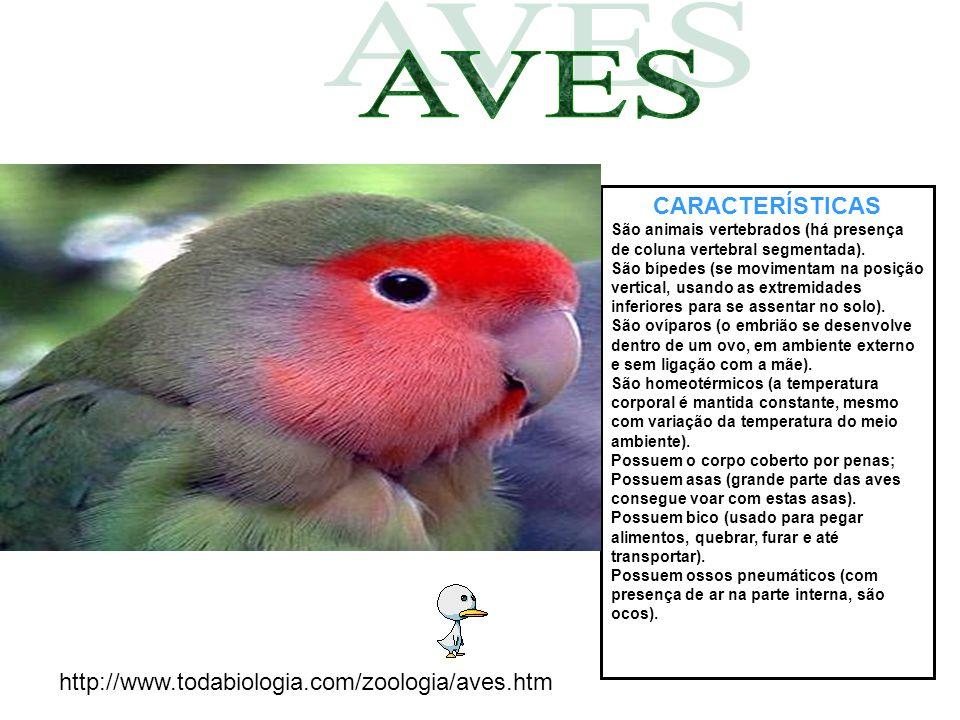 CARACTERÍSTICAS São animais vertebrados (há presença de coluna vertebral segmentada). São bípedes (se movimentam na posição vertical, usando as extrem