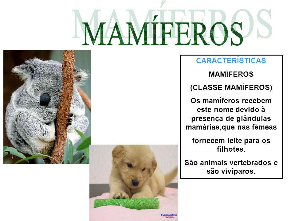 CARACTERÍSTICAS MAMÍFEROS (CLASSE MAMÍFEROS) Os mamíferos recebem este nome devido à presença de glândulas mamárias,que nas fêmeas fornecem leite para