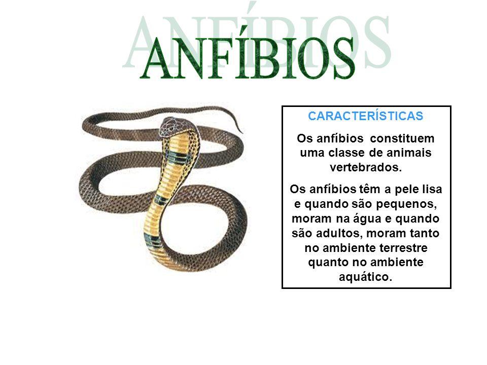 CARACTERÍSTICAS Os anfíbios constituem uma classe de animais vertebrados. Os anfíbios têm a pele lisa e quando são pequenos, moram na água e quando sã