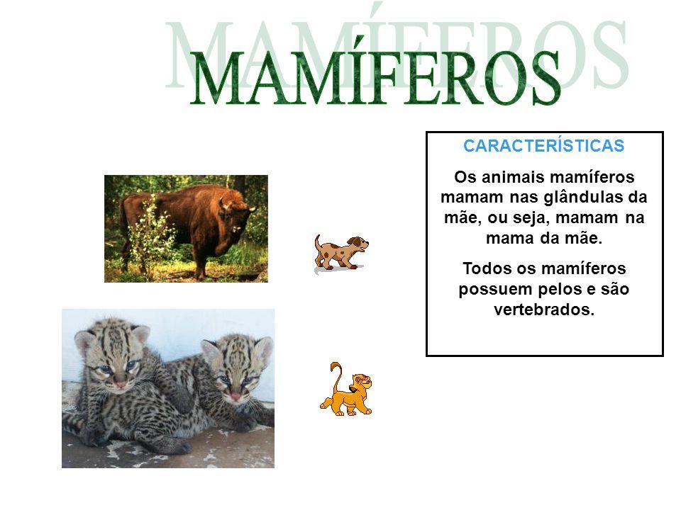 CARACTERÍSTICAS Os animais mamíferos mamam nas glândulas da mãe, ou seja, mamam na mama da mãe. Todos os mamíferos possuem pelos e são vertebrados.