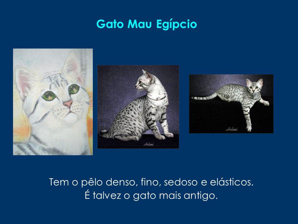 Gato Mau Egípcio Tem o pêlo denso, fino, sedoso e elásticos. É talvez o gato mais antigo.
