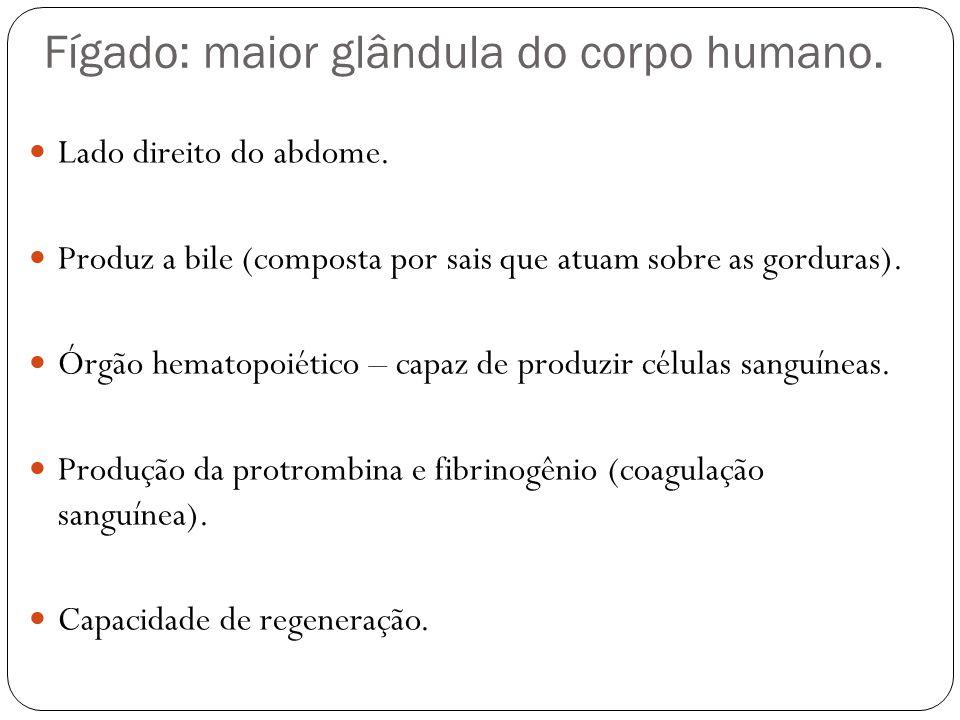 Fígado: maior glândula do corpo humano. Lado direito do abdome. Produz a bile (composta por sais que atuam sobre as gorduras). Órgão hematopoiético –