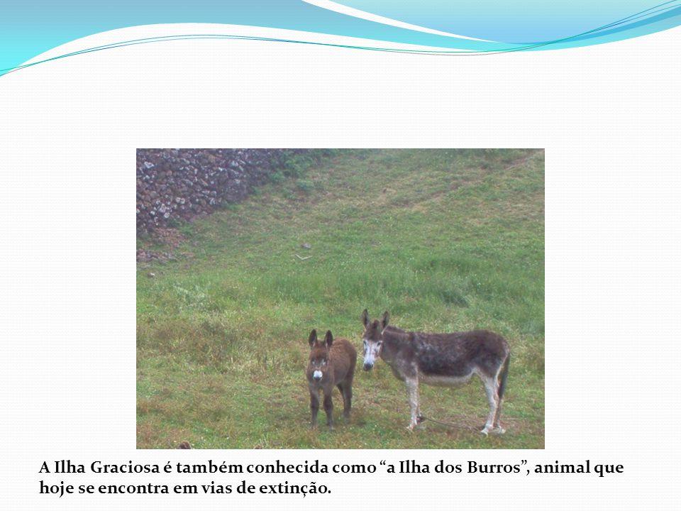 A Ilha Graciosa é também conhecida como a Ilha dos Burros , animal que hoje se encontra em vias de extinção.