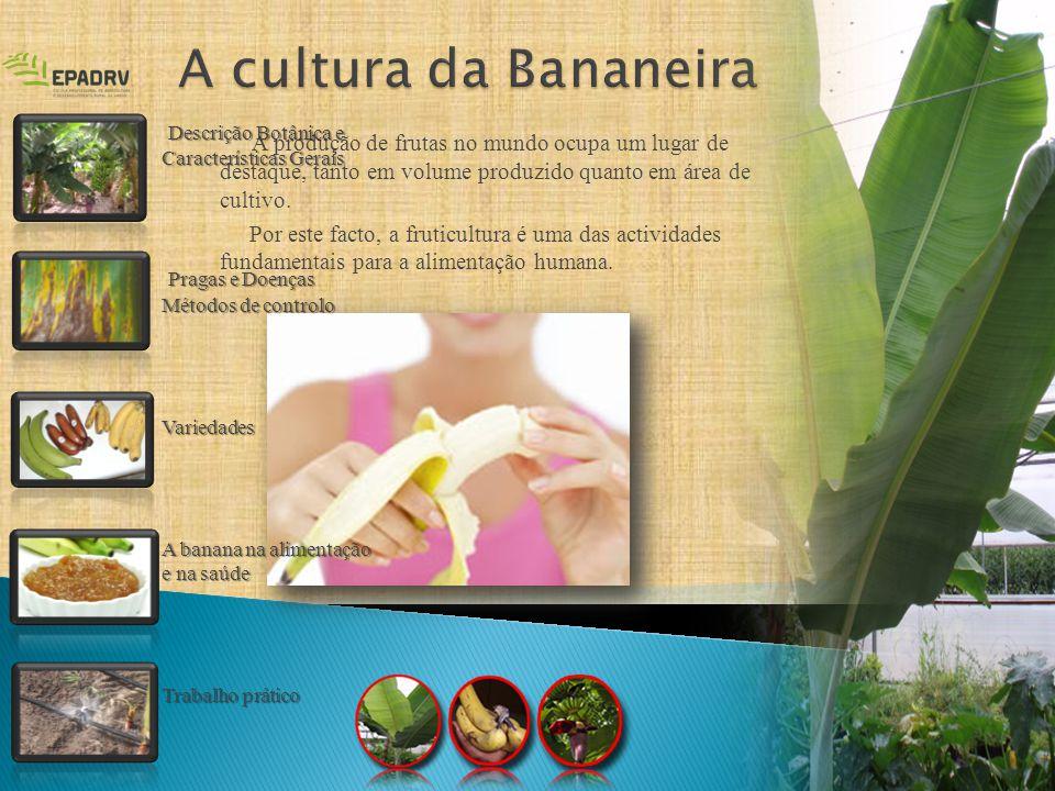 Musa (bananeira) é um dos três géneros da família das - musaceaCaracterizaçãoCaule - caule suculento e subterrâneo (rizoma) - tronco ou pseudocaule formado pelas bainhas sobrepostas das folhas.