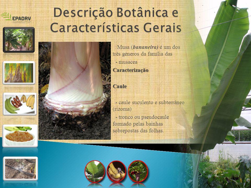 Musa (bananeira) é um dos três géneros da família das - musaceaCaracterizaçãoCaule - caule suculento e subterrâneo (rizoma) - tronco ou pseudocaule fo