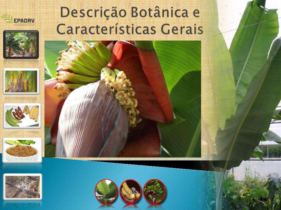 Flores - espiga terminal com glomérulos androgínicos - parte superior dos pseudocaules Frutos - pseudobaga