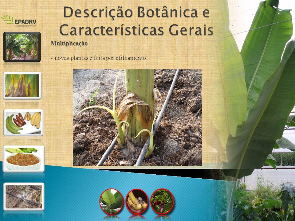 Multiplicação - novas plantas é feita por afilhamento