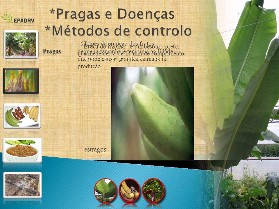 * Pulgão da bananeira * Ácaros - medem cerca de 0,5 mm, apresentam coloração avermelhada, com pigmentação mais acentuada lateralmente, formam colónias na face inferior das folhas, tecendo teias no limbo foliar estragos