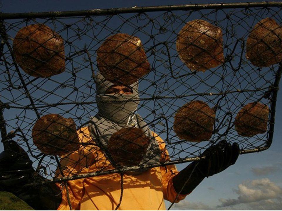 Um trabalhador perto de uma gaiola em que as ostras vão passar os próximos 2-3 anos.