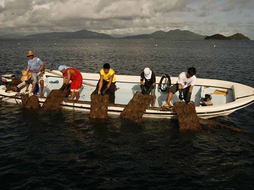 Trabalhadores puxam para cima as gaiolas parar colher as pérolas das ostras.