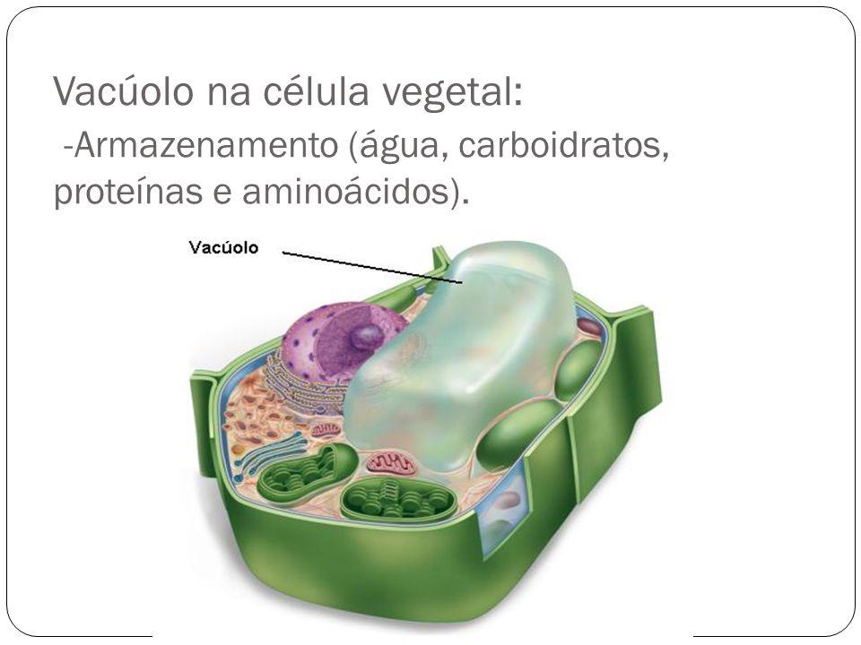 Vacúolo na célula vegetal: -Armazenamento (água, carboidratos, proteínas e aminoácidos).