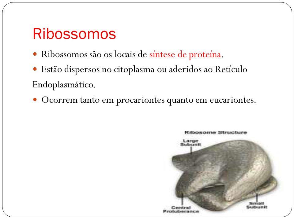 Ribossomos Ribossomos são os locais de síntese de proteína. Estão dispersos no citoplasma ou aderidos ao Retículo Endoplasmático. Ocorrem tanto em pro
