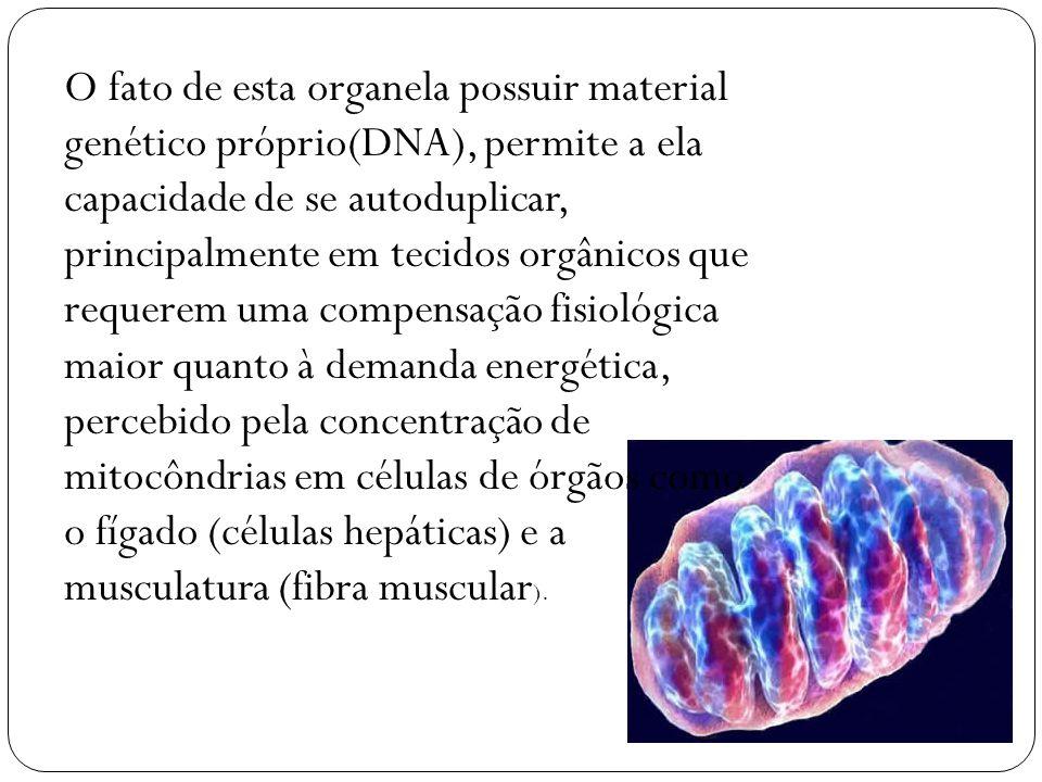 O fato de esta organela possuir material genético próprio(DNA), permite a ela capacidade de se autoduplicar, principalmente em tecidos orgânicos que r