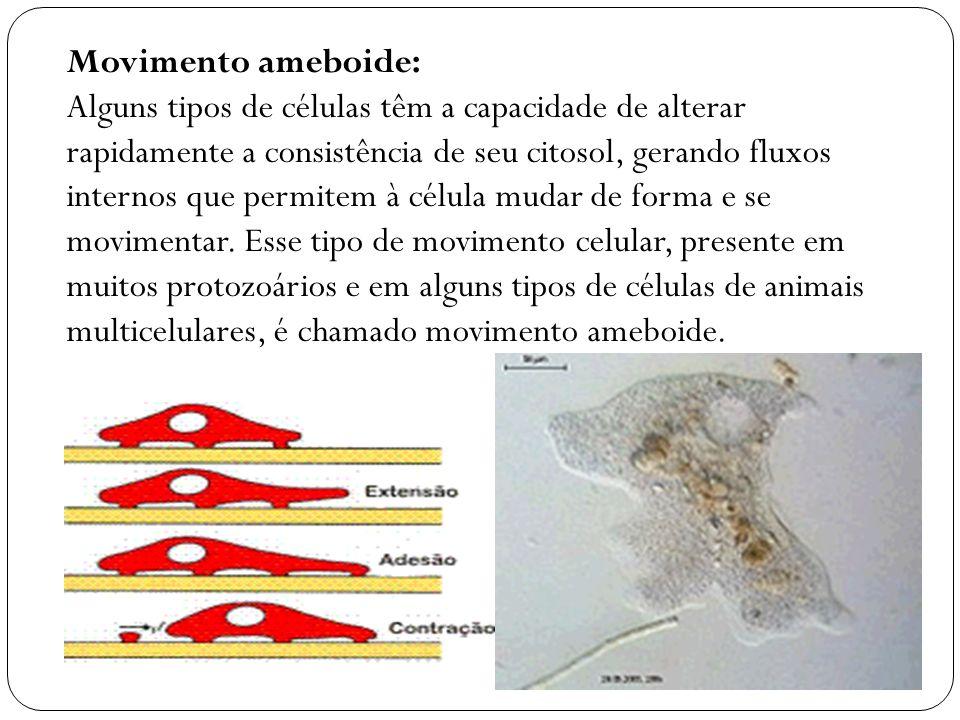 Movimento amebóide Alguns tipos de células têm a capacidade de alterar rapidamente a consistência de seu citosol, gerando fluxos internos que permitem