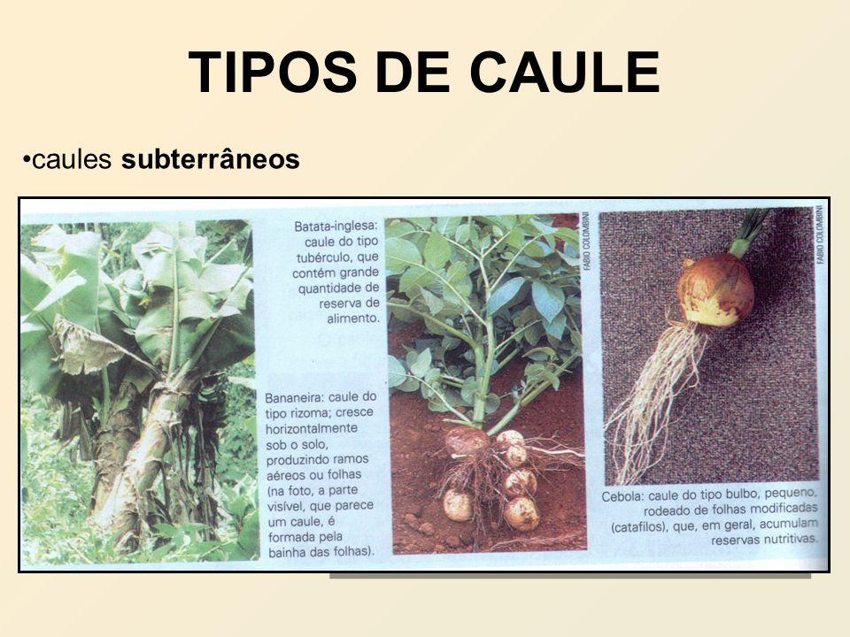 TIPOS DE CAULE caules subterrâneos caules aquáticos