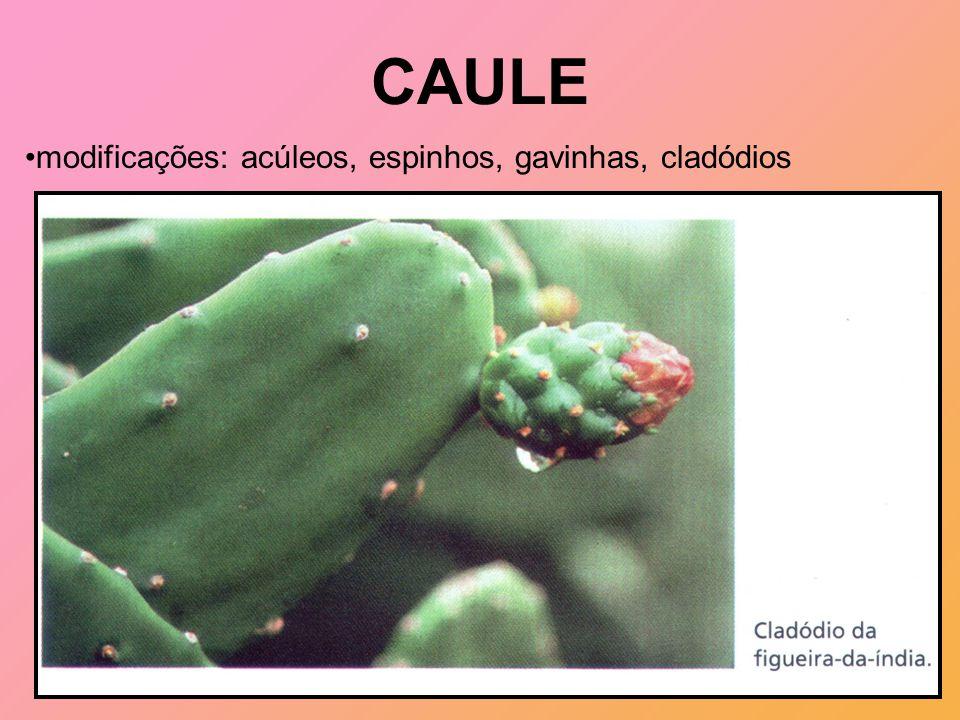 CAULE modificações: acúleos, espinhos, gavinhas, cladódios