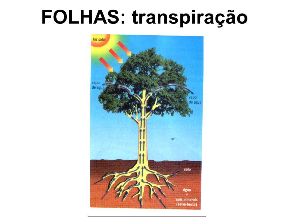 FOLHAS: transpiração