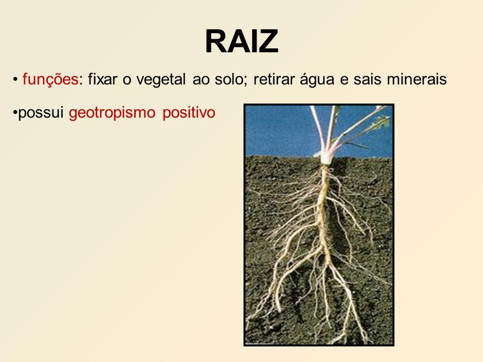 RAIZ funções: fixar o vegetal ao solo; retirar água e sais minerais possui geotropismo positivo