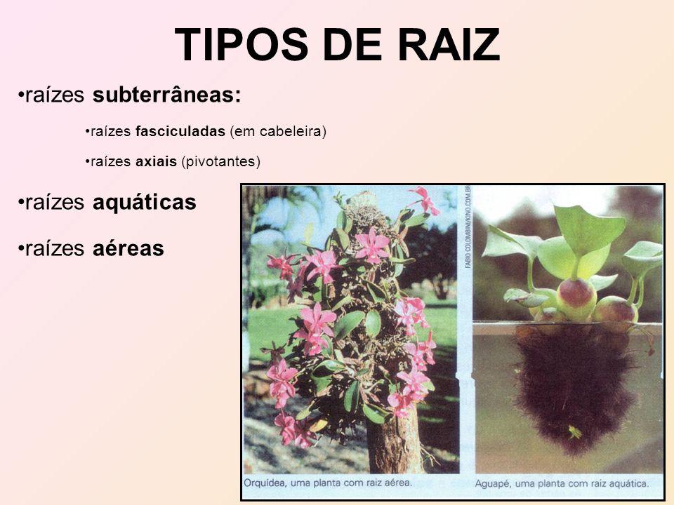 TIPOS DE RAIZ raízes subterrâneas: raízes fasciculadas (em cabeleira) raízes axiais (pivotantes) raízes aquáticas raízes aéreas
