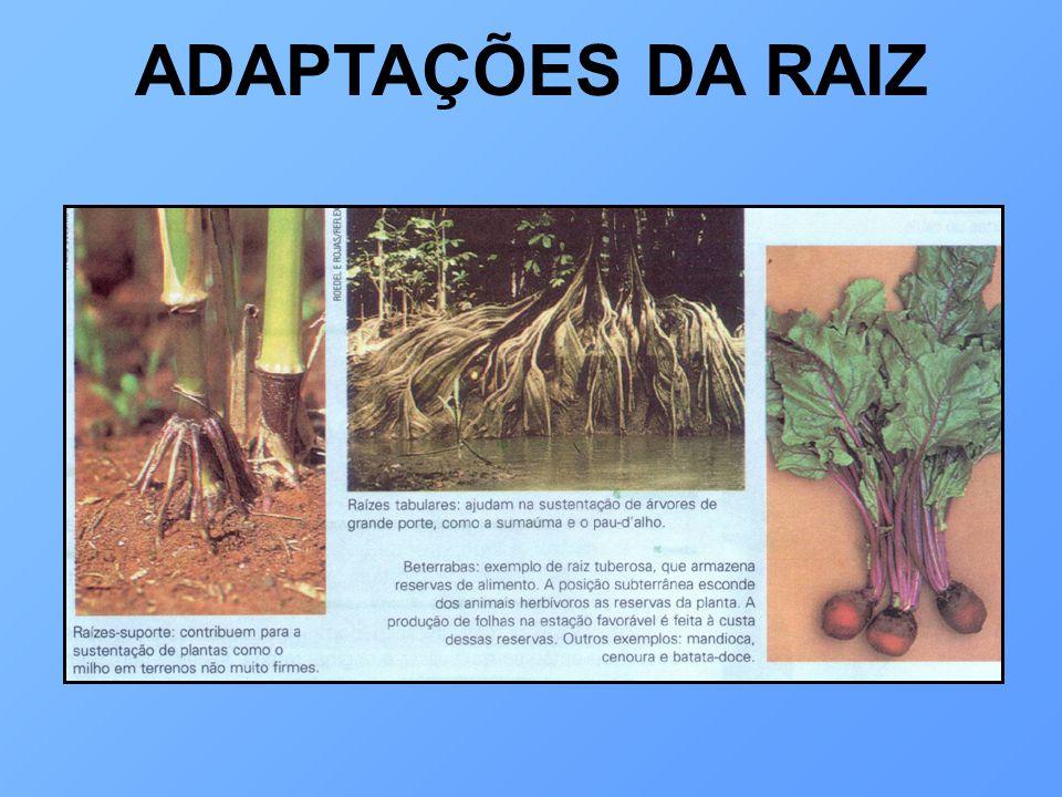 CAULE funções: sustentar as folhas; conduzir as seivas seiva bruta: vasos lenhosos (mais centrais) seiva elaborada: vasos liberianos (periféricos)