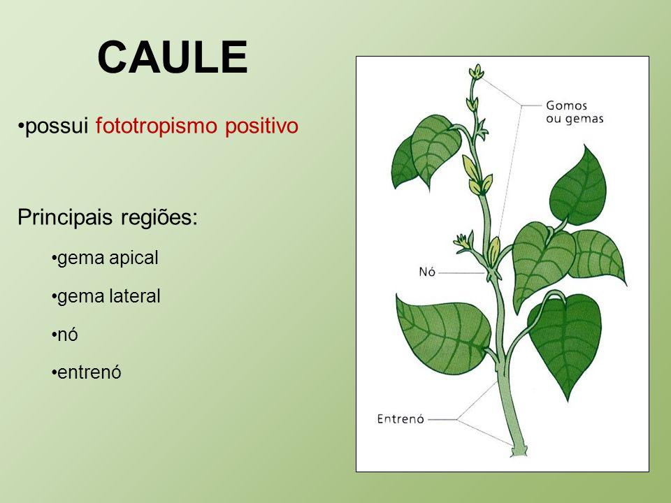 CAULE possui fototropismo positivo Principais regiões: gema apical gema lateral nó entrenó