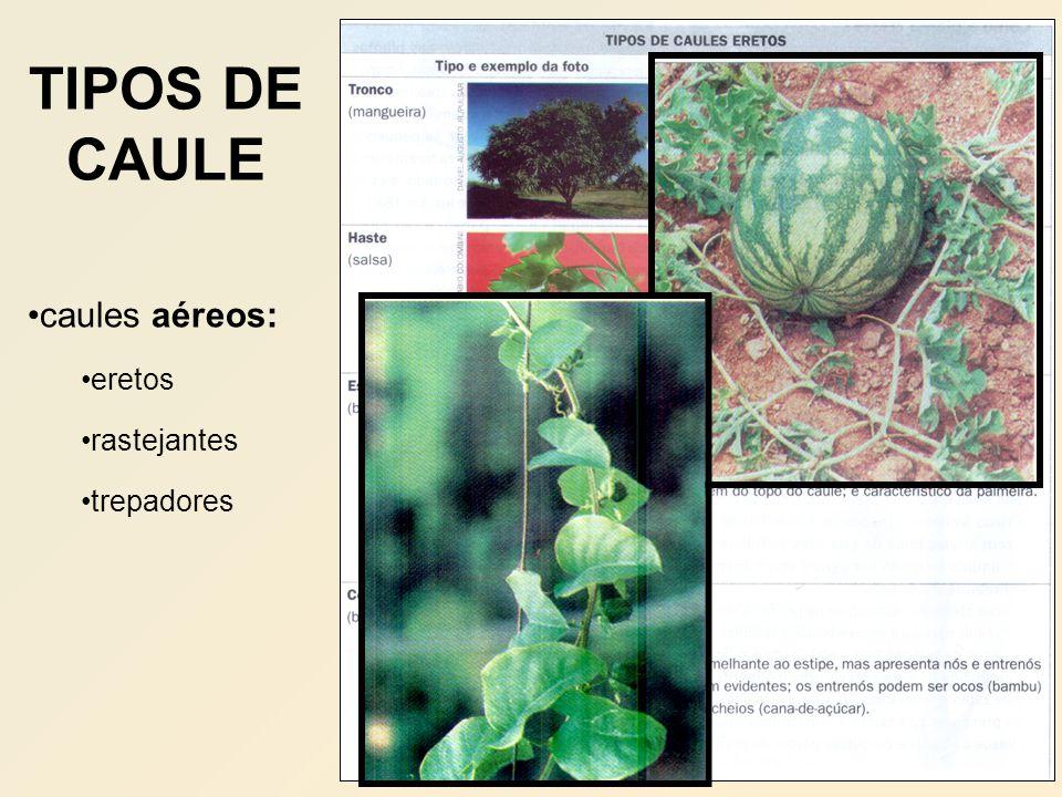TIPOS DE CAULE caules aéreos: eretos rastejantes trepadores