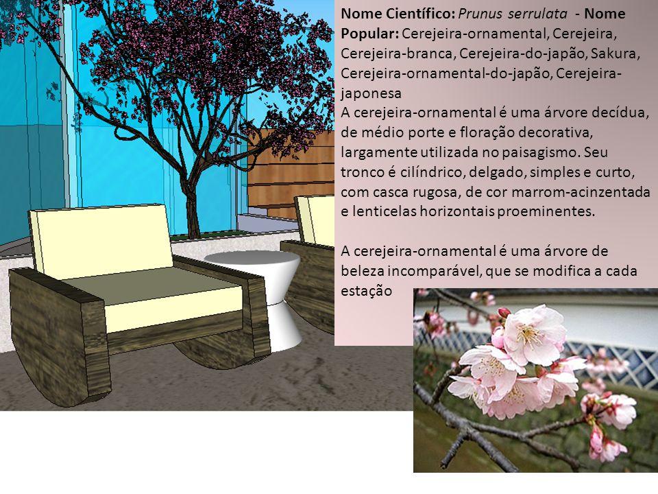 Nome Científico: Prunus serrulata - Nome Popular: Cerejeira-ornamental, Cerejeira, Cerejeira-branca, Cerejeira-do-japão, Sakura, Cerejeira-ornamental-