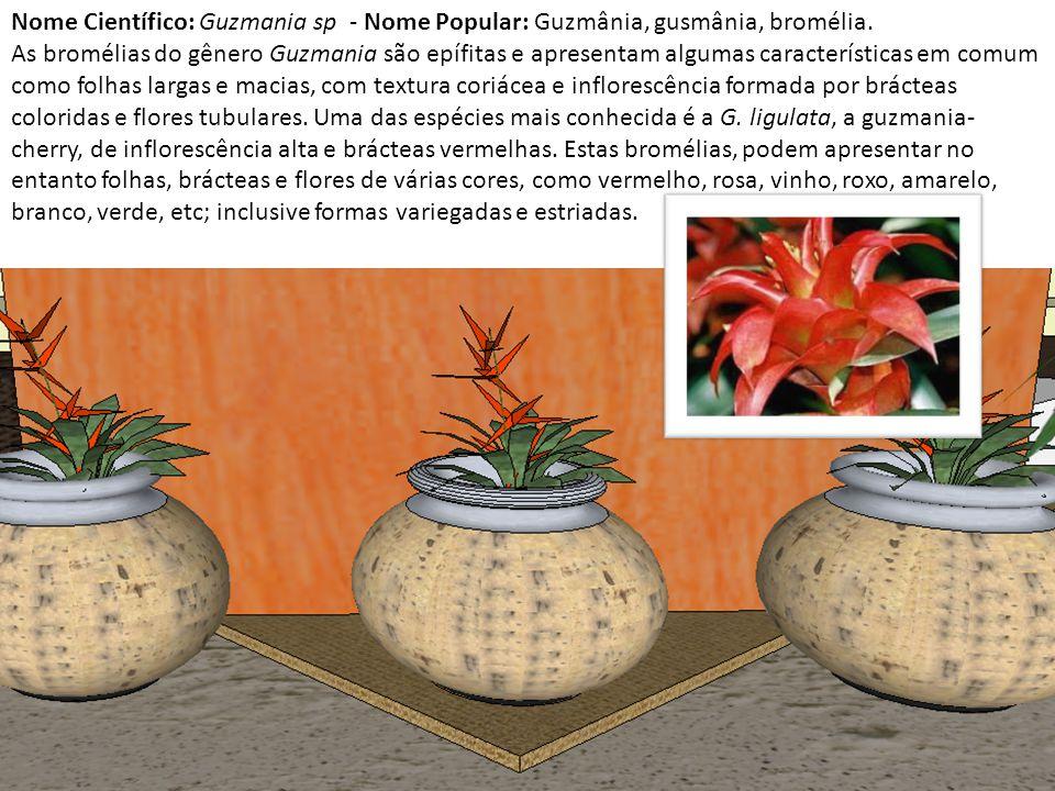 Nome Científico: Guzmania sp - Nome Popular: Guzmânia, gusmânia, bromélia. As bromélias do gênero Guzmania são epífitas e apresentam algumas caracterí