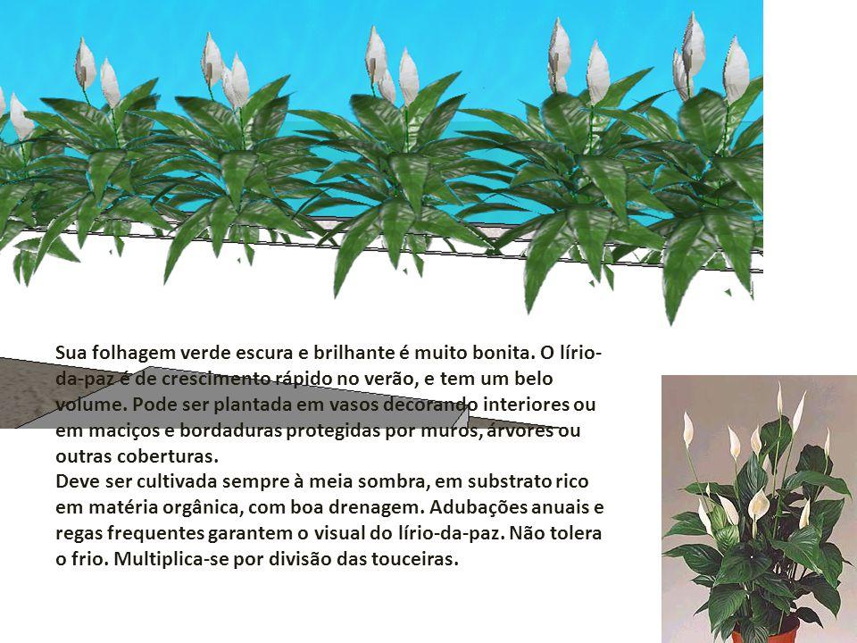 Sua folhagem verde escura e brilhante é muito bonita. O lírio- da-paz é de crescimento rápido no verão, e tem um belo volume. Pode ser plantada em vas