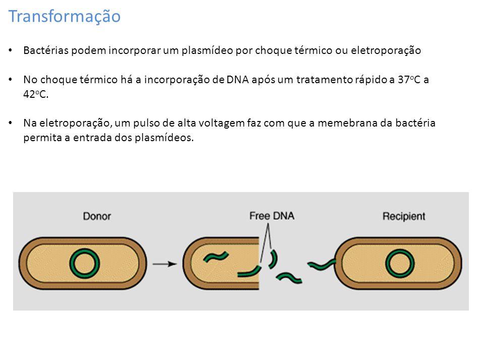 Transformação Bactérias podem incorporar um plasmídeo por choque térmico ou eletroporação No choque térmico há a incorporação de DNA após um tratament