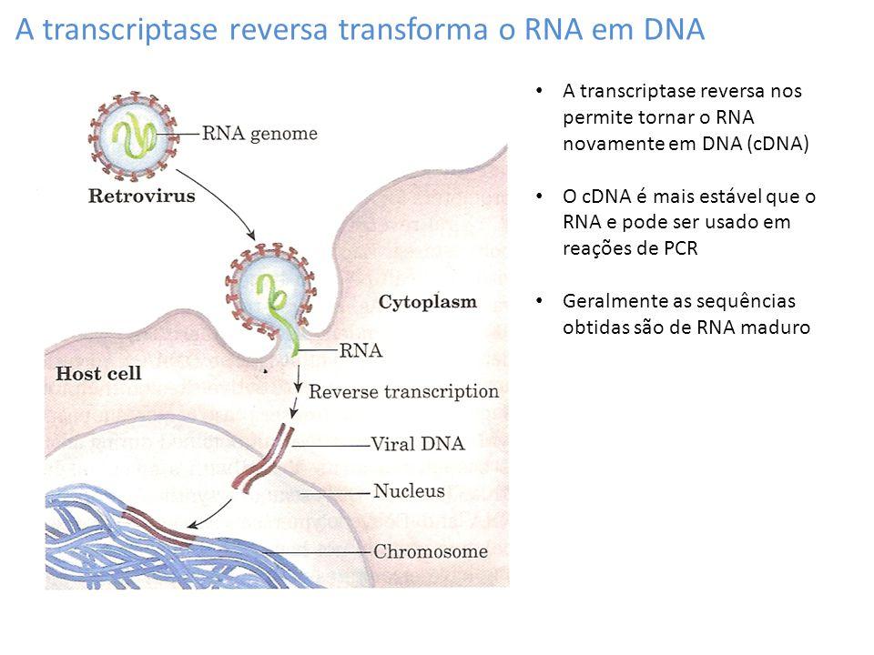 A transcriptase reversa transforma o RNA em DNA A transcriptase reversa nos permite tornar o RNA novamente em DNA (cDNA) O cDNA é mais estável que o R