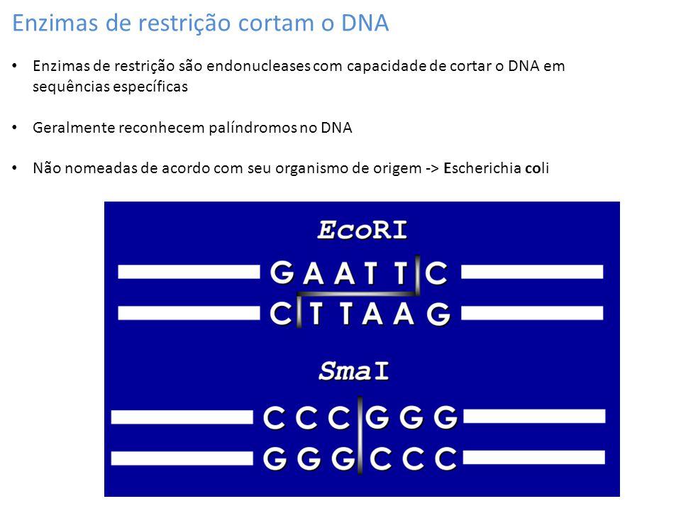 Enzimas de restrição cortam o DNA Enzimas de restrição são endonucleases com capacidade de cortar o DNA em sequências específicas Geralmente reconhece