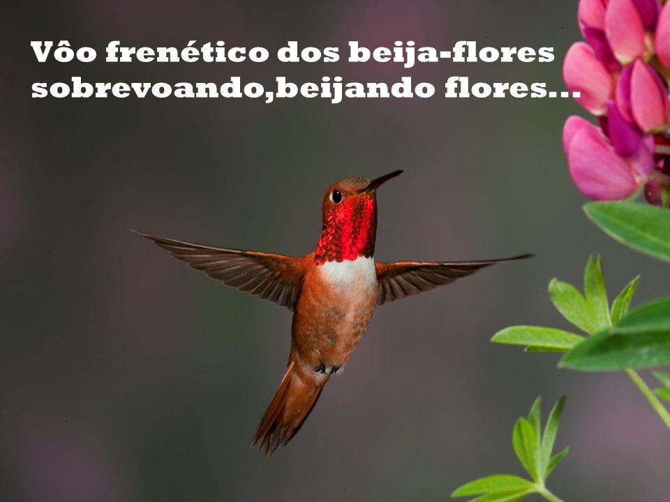 Vôo frenético dos beija-flores sobrevoando,beijando flores...