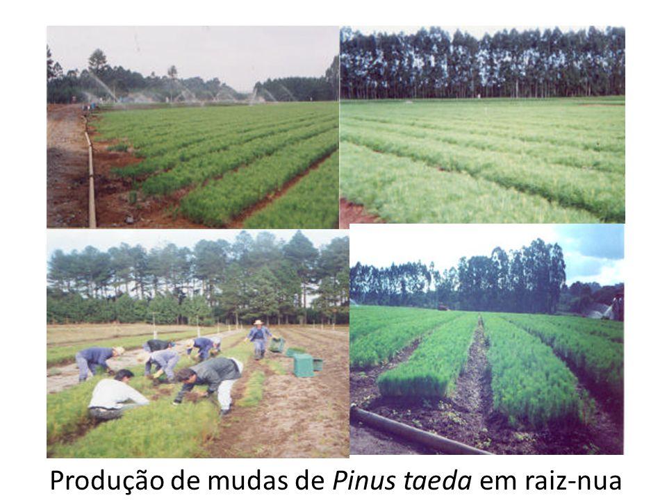 Produção de mudas de Pinus taeda em raiz-nua