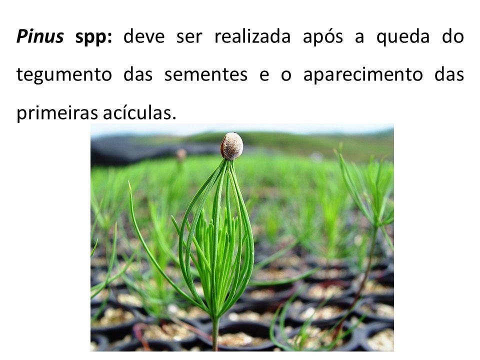 Pinus spp: deve ser realizada após a queda do tegumento das sementes e o aparecimento das primeiras acículas.