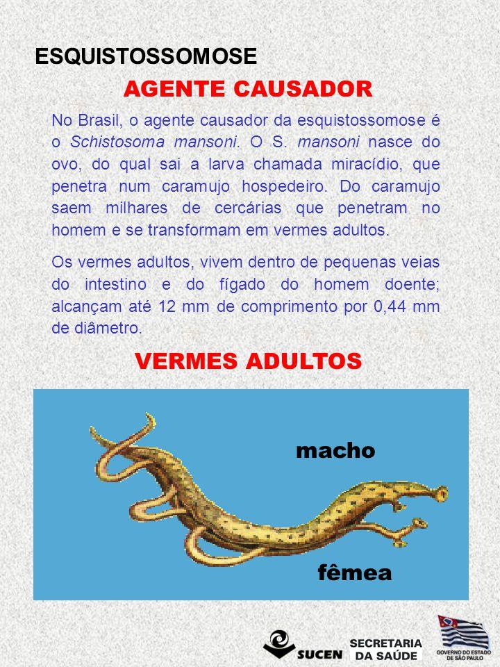 ESQUISTOSSOMOSE VERMES ADULTOS No Brasil, o agente causador da esquistossomose é o Schistosoma mansoni. O S. mansoni nasce do ovo, do qual sai a larva