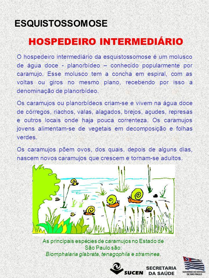 ESQUISTOSSOMOSE As principais espécies de caramujos no Estado de São Paulo são: Biomphalaria glabrata, tenagophila e straminea. HOSPEDEIRO INTERMEDIÁR